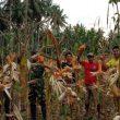 4 Bulan Gigit Jari, Penyuluh Pertanian Lapangan di Halmahera Barat Belum Terima Gaji