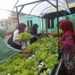 Warga Mangga Dua Ternate Sulap Pekarangan Jadi Kebun Hidroponik