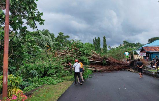 Pohon Beringin Tumbang Timpa Kabel di Tidore, Listrik Padam