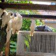 BKSDA Pulangkan Puluhan Burung Endemik Maluku