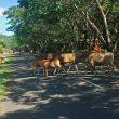 Perda Penertiban Hewan Ternak di Halmahera Tengah Terkesan Mandul