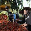 5 Subsektor Ini Dongkrak Nilai Tukar Petani Maluku Utara